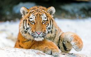 тигрёнок, Тигр, животные, морда, взгляд, лапы