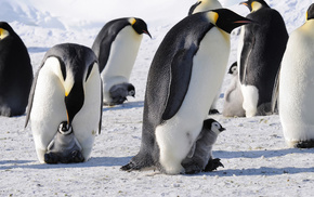 animals, penguins