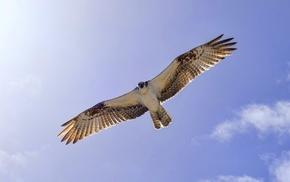 животные, небо, крылья, полет, Птица