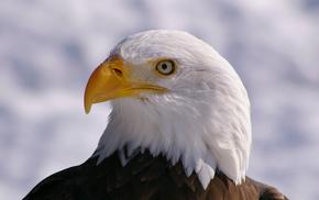 профиль, взгляд, белоголовый орлан, bald eagle, bird, Птица
