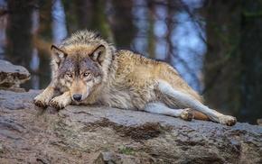 wolf, forest, animals, nature