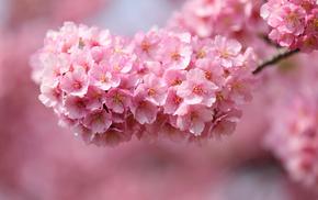 sakura, cherry, tree, flowers, Japan