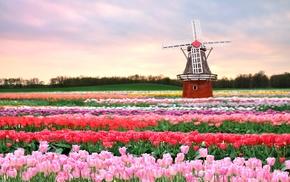 spring, flowers, field, tulips