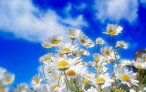 nature, flowers, plant, chamomile