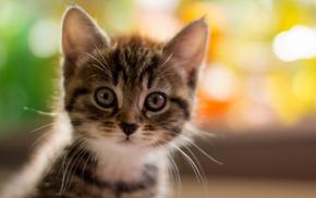 kitten, macro, animals