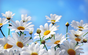 nature, chamomile, flowers, sky, petals