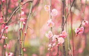 twigs, sakura, flowers