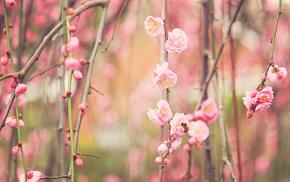 twigs, sakura, flowers