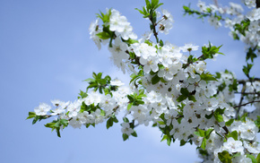 nature, white flowers, flowers, spring