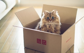 blue eyes, cat, Ben Torode, wooden surface, boxes, animals