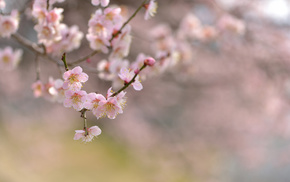 cherry, branch, tree, nature, bloom