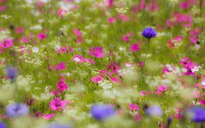 лепестки, сиреневые, розовые, Поле, белые, цветы