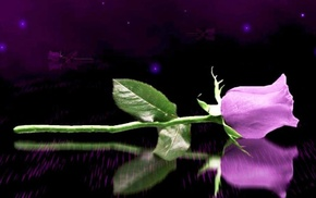 rose, reflection, 3D