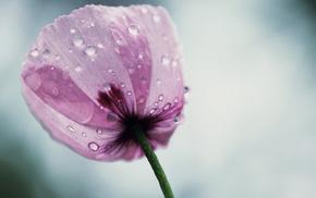 macro, flower, pink, drops