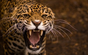 jaguars, nature, animals, leopard
