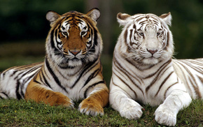 animals, white