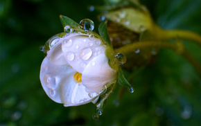 macro, flower, greenery, dew, drops