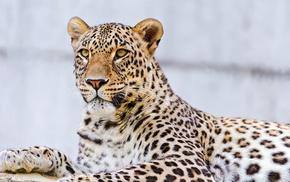 muzzle, mustache, leopard, animals, lies