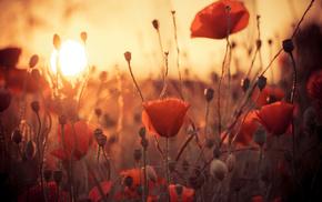 flowers, poppies, Sun