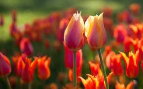 flowers, spring, tulips