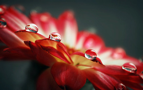 drops, flowers, dew, water, petals