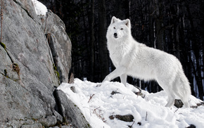 winter, animals, snow, white, wolf