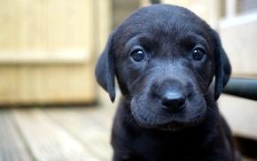 Labrador Retriever, dog, closeup, puppies