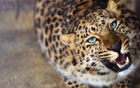 leopard, predator, animals, muzzle