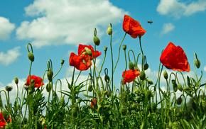 poppies, grassland, field, sky, nature