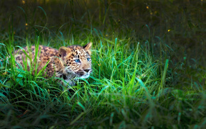 tiger, animals, kid, leopard, grass