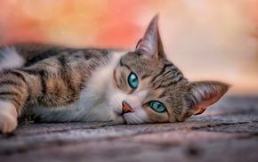 кошки, кот, домашние животные, поза, животные, голубые глаза