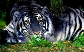 white, tiger, grass, animals