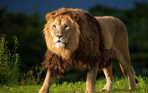 grass, predator, grassland, animals, lion
