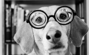 animals, glasses, muzzle, black and white, dog
