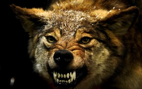 angry, wolf, animals