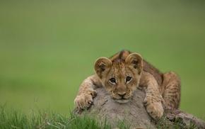 animals, lion, predator