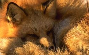 природа, животные, лиса