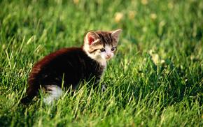 kitten, cat, animals, grass