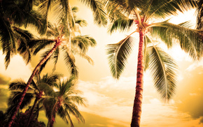 palm trees, nature, palm, evening, summer