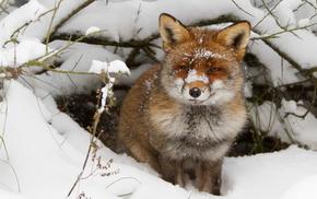 fox, winter, snow, animals