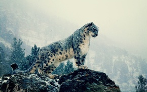 leopard, animals, snow, mountain
