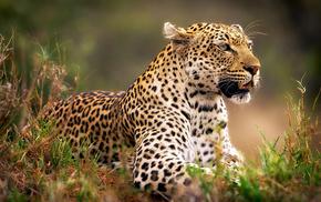 леопард, трава, Обои животные, животные, охота, приготовился