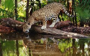 Обои животные, пальмы, животные, водопой., американский ягуар