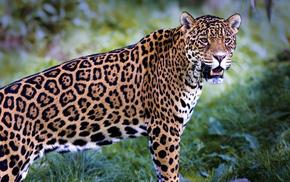 леопард, Обои животные, охота, зубы, трава.., животные
