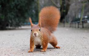 red hair, squirrel, animals