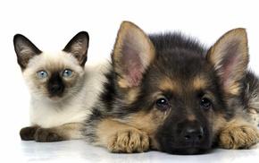 dog, German Shepherd, cat