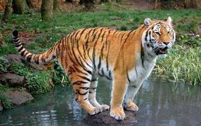 тигр, Обои животные, камни., животные, вода