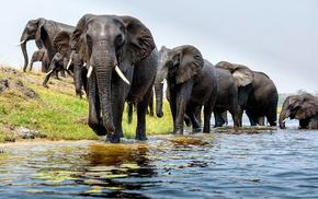 брод., Обои животные, животные, река, слоны