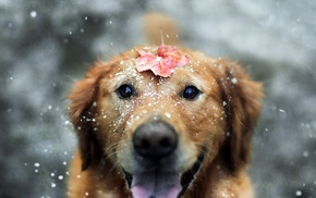 fall, leaves, animals, snow, dog, Labrador Retriever