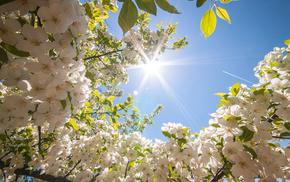 tree, Sun, nature, flowers, spring